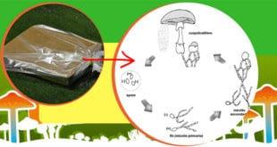 Come Coltivare i Funghi Pioppini in Casa? Kit Funghi Spora
