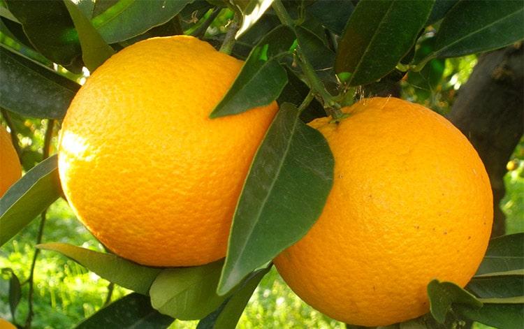 Cresciamo magri con risposte di acido di limone