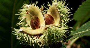 le castagne proprietà benefici e calorie